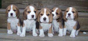 beagles puppy dog